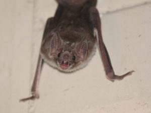 Common vampire