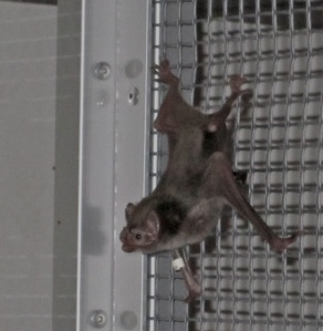 Vampire bat on cage wall