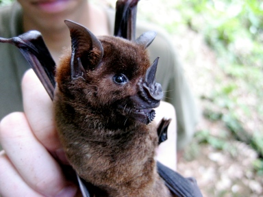 Greater spear-nosed bat, Phyllostomus hastatus. The females live in stable cooperative groups with non-kin. They will protect unrelated pups in their own group, but will attack and kill pups from other groups.