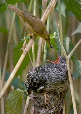 "The result of brood parasitism. A reed warbler feeding her ""baby"" that's actually a cuckoo."