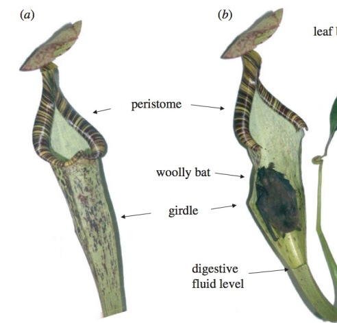 Grafe, T. U., Schöner, C. R., Kerth, G., Junaidi, A., & Schöner, M. G. (2011). A novel resource–service mutualism between bats and pitcher plants. Biology Letters, 7(3), 436-439.