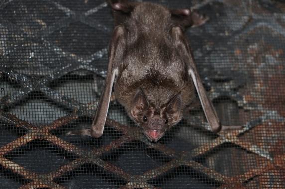 captive vampire bat