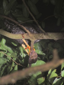 white-winged vampire feeding on a chicken in a tree