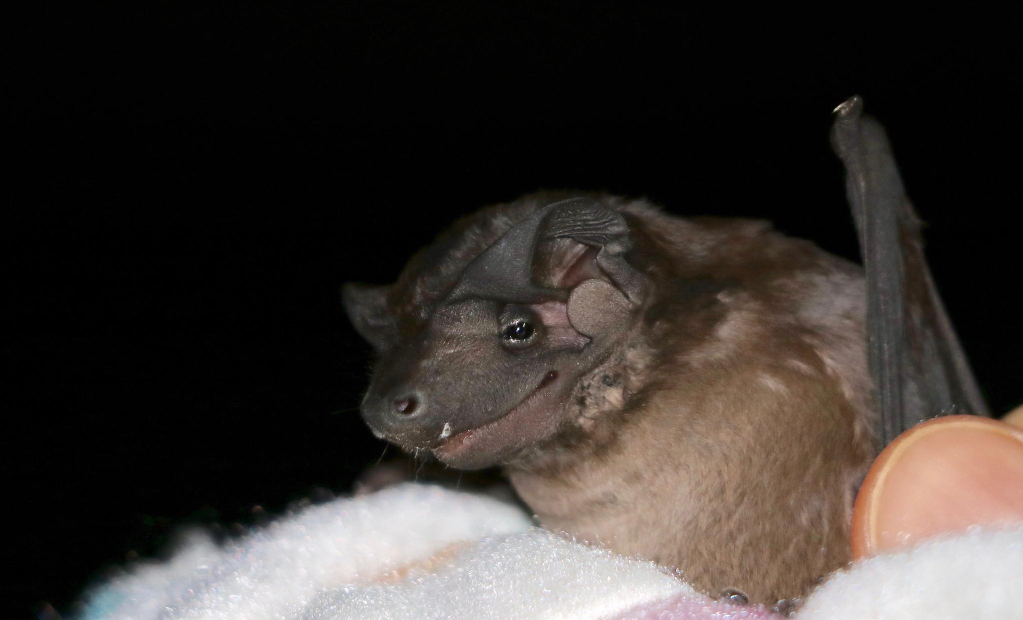 new species of bat in Gamboa